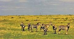 Zebra- on safari (ArtsySF©Marjie) Tags: africa travel kenya safari zebra serengeti masamari artsysf©
