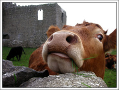 Nosy Cow (Cilest) Tags: 2005 ireland portrait green topf25 animals topv111 fur nose kuh cow cilest topc75 frombelow irland flickrcentral furryfriday milka nase sigi nosy allanimals iflickr passwordthingsilike neugierig naseweis fourcolorworld ichwillkhe