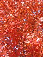 Fall (shutterBRI) Tags: 2005 autumn trees red fallleaves color tree fall leaves canon photography photo powershot a80 shutterbri brianutesch flickrchallengegroup brianuteschphotography