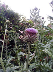 A bonny Big thistle (Seoirse) Tags: plant emblem giant scotland purple thistle ayrshire jaggy culzean
