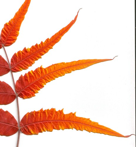 Fire in Montana -- Sumac leaf