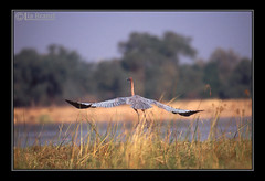 Let's Go to the Wild Africa (bocavermelha-l.b.) Tags: travel water river zimbabwe goliathheron ardeagoliath afszoomnikkor500mm14d afiteleconvertertc20e nikon–f5 z5oo shootingwithnikonf5 wingsinflight asasemvôo