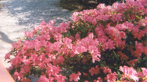 Bank of pink azaleas