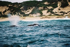 2 Southern right whales