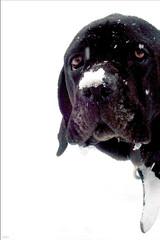 doggiedog (soleá) Tags: winter dog snow holland animal funny flickr foto sweet megashot