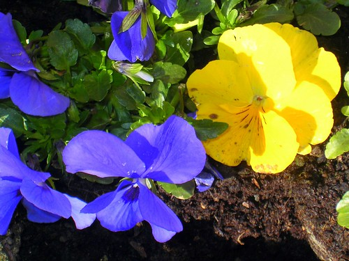 Pansies by Neil T.