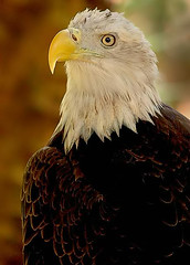 Amazing Eagle (hodad66) Tags: bird 1025fav wow eagle bald regal featheryfriday