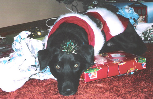 black lab - Christmas