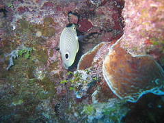 site: Heddy's Reef - 1 (hazybluedot) Tags: vacation fish underwater scuba diving caribbean caymanbrac