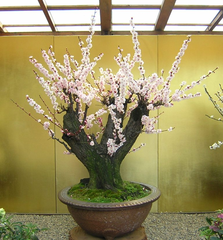 bonsai (ume)