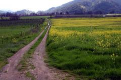 two-track & mustard (lawatt) Tags: mustard vineyards road ukiah farmland mendocinocounty