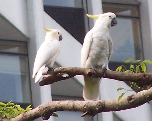 Yellow-crested and Sulphur-crested Cockatoo