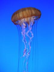 Jellyfish (Frankenstein) Tags: california aquarium monterey jellyfish montereybayaquarium explore springbreak05 explored