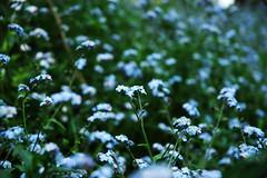blue speckled green (jaymce) Tags: sanfrancisco goldengatepark flowers blue flower green walker urbannature jaymce