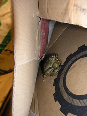 elvanfoot frogs 3 (biotron) Tags: elvanfoot scotland farm rave barn frogs piggyback humping mating springtime nookie amphibian cardboard box