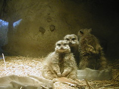 021226-OR-portland-oregon_zoo-meercats_in_den
