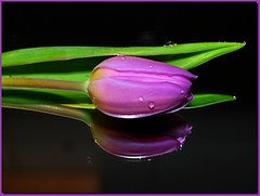 Tulip on a mirror! (Truus) Tags: tulp tulip flower purple reflection drops nofinal final final2 final7