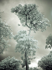 Lone Tree 3 (Wahj) Tags: infrared bukit chandu ir tree