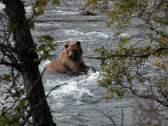 Brown Bear in the Katmai National Park (t i g) Tags: bear alaska fantastic fishing charlie brownbear kindel charliekindel topshot katmai photo365 alaskarainbowlodge photo365kindel