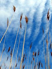 Blue ripple (dshearer) Tags: landscape newjersey tranquility marsh top20 ilikegrass