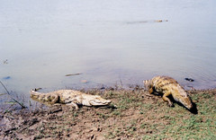 crocodiles emerge at paga pond