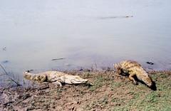 crocodiles emerge at paga pond