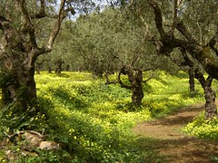 Spring Olive Grove, Zakynthos, Greece (RobW_) Tags: 2003 flowers trees flower colour nature beauty yellow 510fav wow wonderful spring interesting grove interestingness1 olive 123 2006 used explore greece olives april wildflowers top10 favourite zante elsewhere zakynthos tsilivi apr2003 1111v11f top500 interestingness4 apr2006 i500 13apr2003 explore29mar05 19apr2006 top20greece
