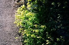 yellow (naota) Tags: shizuoka canonae1 earlyspring