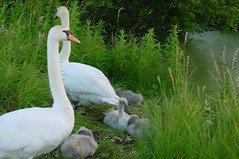 DSC00032 (achuka) Tags: swans cygnets