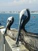 Florida Brown Pelican (dulcelife) Tags: brown pelican brownpelican florida clearwaterbeach clearwater bird seabird blue water ocean beach pier animals dulcelife bluewater birds seabirds beaches oceans olympus olympusd490