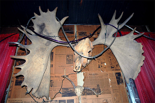 moose skull with large antlers, -looks like a 'moosealope'