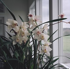Household Orchids, 2005 (artandscience) Tags: rolleiflex tlr orchids mediumformat portra160nc film
