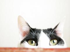 yeux chaton