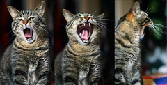 desssSSSTROY !!!! (-Antoine-) Tags: topf25 cat mouth chat triptych teeth yawn bouche noname sequence triptyque dents yawning destroy bailler antoinerouleau