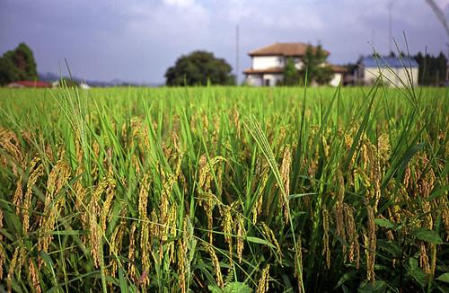 Cambodia: Rice politics