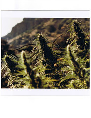 Five Colas (Madjag) Tags: weed marijuana madjag cannabis sinsemilla growers arizona desert