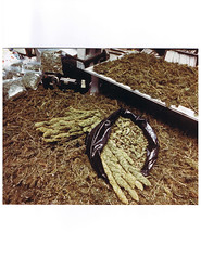 Harvest and garbage bags (Madjag) Tags: weed marijuana madjag cannabis sinsemilla growers dealer