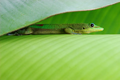 Invisibility (konaboy) Tags: green leaf bananeira profile banana gecko contact folha 22716