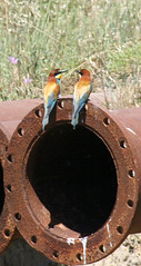 bee eater discussions (Anduze traveller) Tags: france birds tag3 taggedout rural tag2 tag1 lol oiseaux camargue beeeaters i500 interstingness342 gupiers photofaceoffwinner pfogold pfomedals