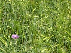 Chardon (desfilhesjm) Tags: nature fleurs cereals crales