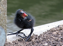 Moorhen Chick (Keith Marshall) Tags: uk england water canon eos kent chick 30d moorhen 70300is gallinulachloropus commonmoorhen canon30d featheryfriday kenko14xtc