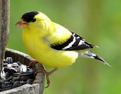 Yellow Finch (bobtravis) Tags: birds topv111 interesting bokeh maine explore finch casco teleconverter interestingness9 americangoldfinch carduelistristis dsch1 yellowfinch carduelis i500 specanimal explore28may2006 animalkingdomelite abigfave