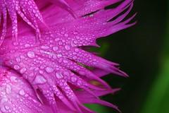 Magenta Dream (code poet) Tags: pink flower macro topf25 water topv111 droplets drops topv555 topv333 bokeh lexington kentucky topv999 magenta arboretum 100v10f 100mm topv777