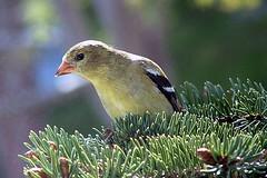 Goldfinch On Spruce (Clyde Barrett) Tags: canada bird newfoundland goldfinch nl nfld americangoldfinch carduelistristis featheryfriday clydebarrett