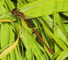 Large Red Damselfly (pyrrhosoma nymp(28) (Jon Law (Improvedimage.co.uk)) Tags: macro closeup bug insect damselfly odonata 105mm zygoptera pyrrhosomanymphula sigma105mm largered jonlaw improvedimage