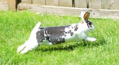 Akshun Wabbit to the Wescue (jellywatson) Tags: seattle pet cute rabbit bunny june yard spring jump backyard tail adorable ears spots isabel hop rex airborne leap binky wabbit standardrex