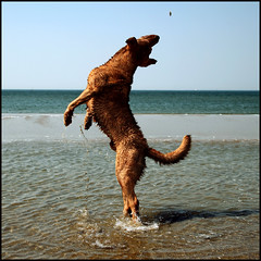 STYLE (ESOX LUCIUS) Tags: pets holland beach dogs taco maasvlakte chesapeakebayretriever foskesfriends
