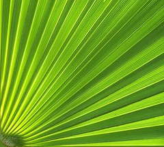 Polar Palm (cobalt123) Tags: arizona detail green topf25 phoenix yellow interestingness soft glow palm frond palmtree greens radiate fronds radiating radial linear goinggreen filledframe mytop100 qarizona palmtreecomposition