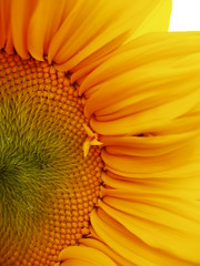 Sun? flower? (arte_molto_brutta_2) Tags: flower yellow sunflower