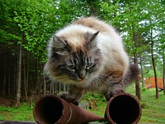 Pipe Perch (Mark Veitch) Tags: wood bridge blue trees green tongue tag3 taggedout cat ties hair fur eyes rust feline tag2 tag1 pipe sofie paws birman